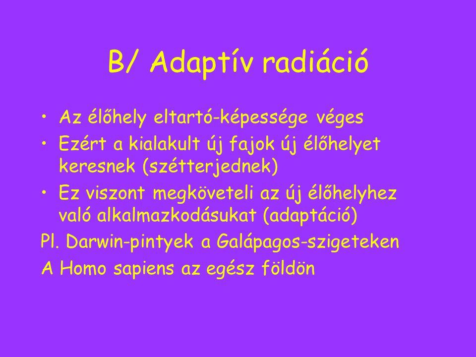 B/ Adaptív radiáció Az élőhely eltartó-képessége véges Ezért a kialakult új fajok új élőhelyet keresnek (szétterjednek) Ez viszont megköveteli az új é