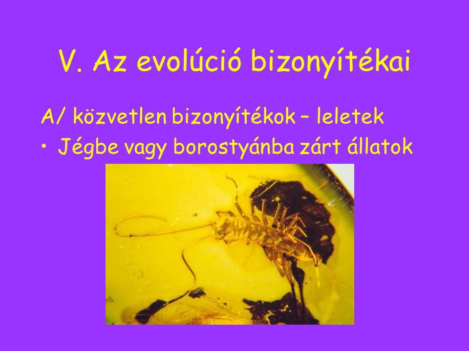 V. Az evolúció bizonyítékai A/ közvetlen bizonyítékok – leletek Jégbe vagy borostyánba zárt állatok