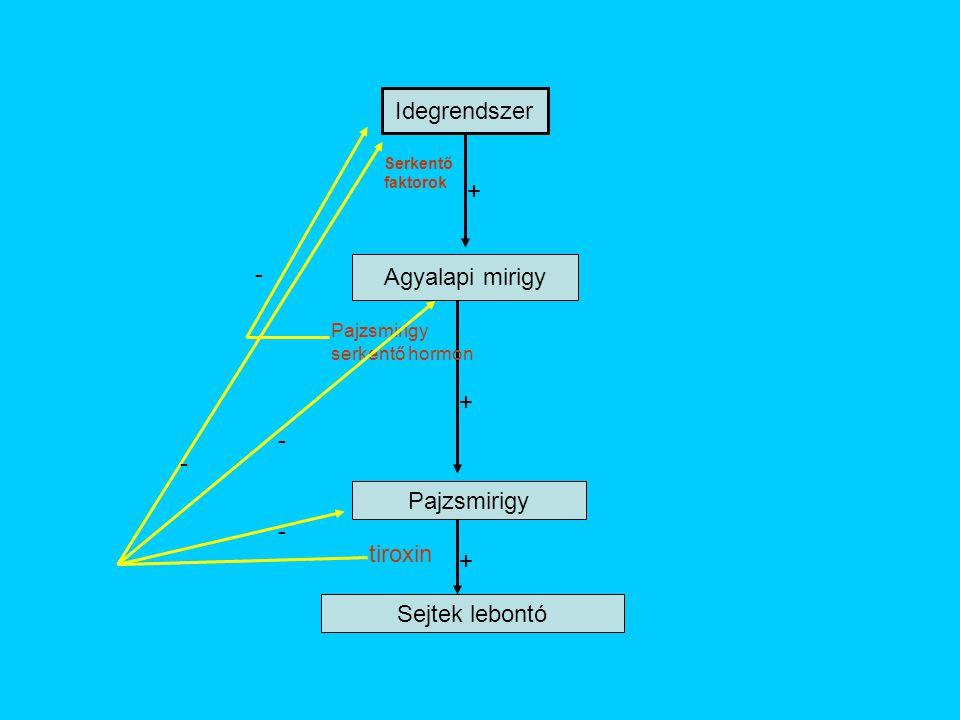 Idegrendszer Agyalapi mirigy Pajzsmirigy Sejtek lebontó + + + tiroxin Pajzsmirigy serkentő hormon Serkentő faktorok - - - -
