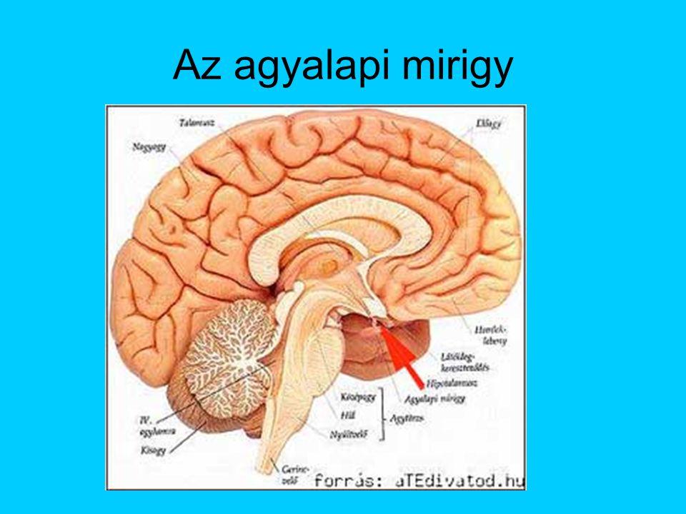 Hátsó lebeny hormonjai Idegi eredet, nem termel hormont, hanem a hipotalamusz nagysejtjeinek neuroszekrétuma itt ürül a vérbe Oxitocin (simaizom-összehúzó hatás pl.