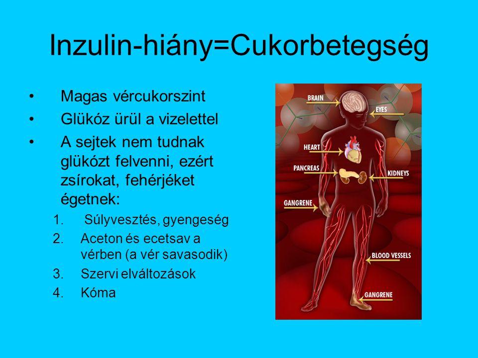Inzulin-hiány=Cukorbetegség Magas vércukorszint Glükóz ürül a vizelettel A sejtek nem tudnak glükózt felvenni, ezért zsírokat, fehérjéket égetnek: 1.