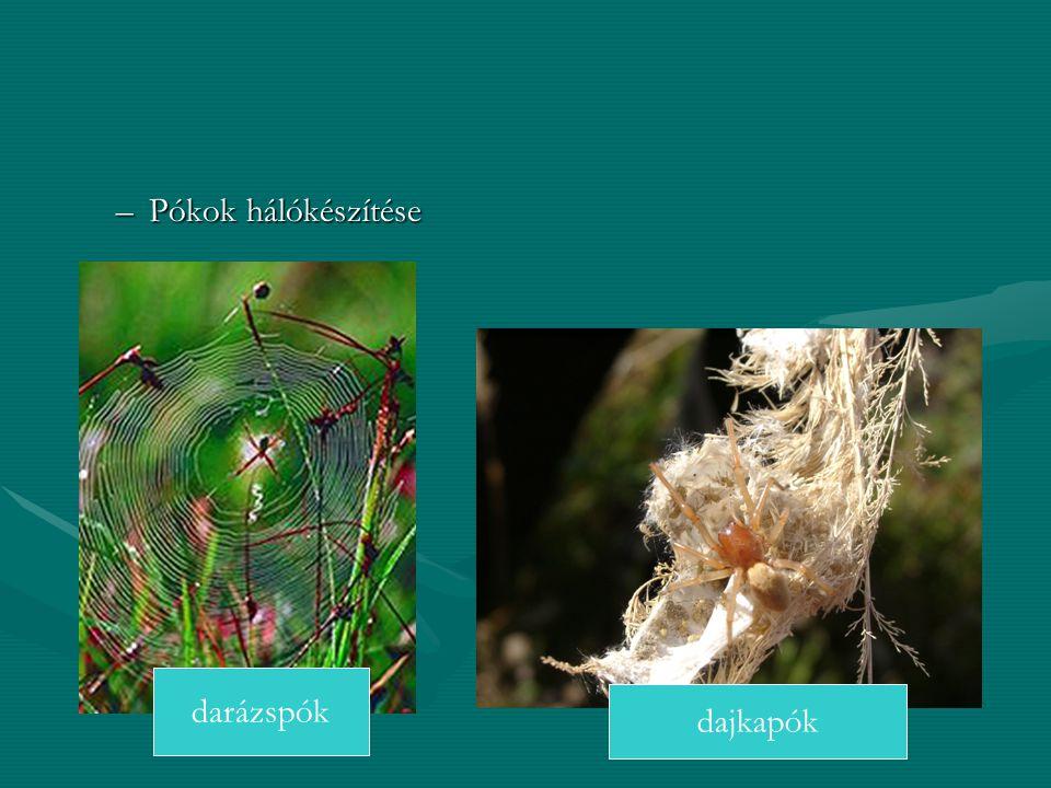 –Pókok hálókészítése dajkapók darázspók