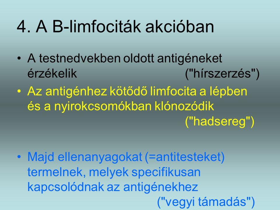 4. A B-limfociták akcióban A testnedvekben oldott antigéneket érzékelik(