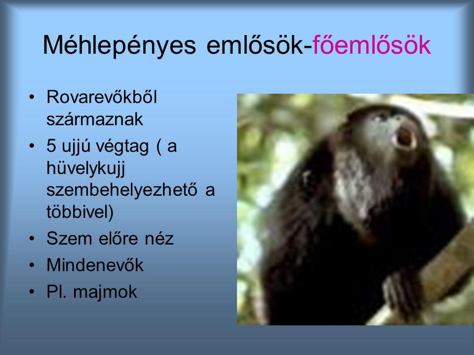 Méhlepényes emlősök-főemlősök Rovarevőkből származnak 5 ujjú végtag ( a hüvelykujj szembehelyezhető a többivel) Szem előre néz Mindenevők Pl. majmok