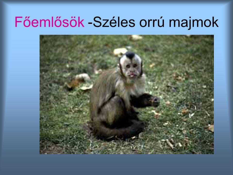 Főemlősök -Széles orrú majmok