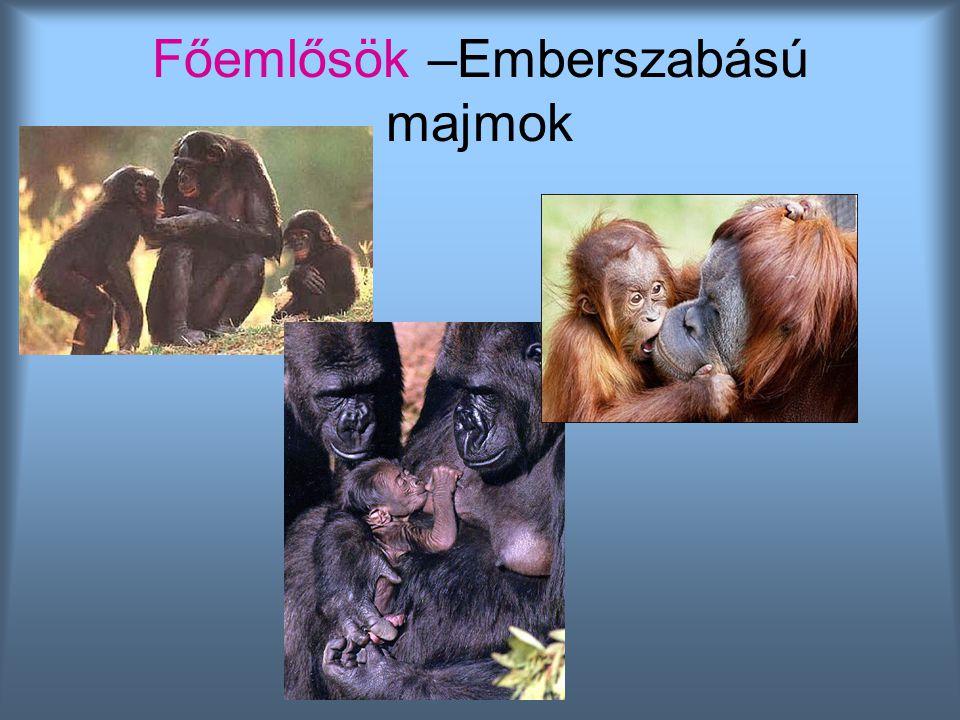 Főemlősök –Emberszabású majmok