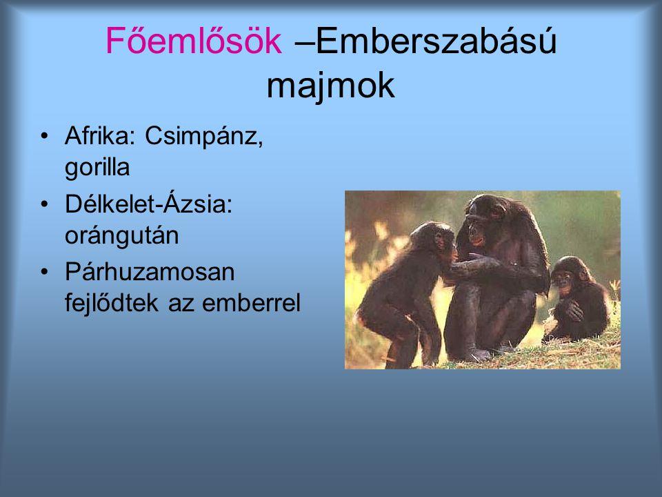 Afrika: Csimpánz, gorilla Délkelet-Ázsia: orángután Párhuzamosan fejlődtek az emberrel