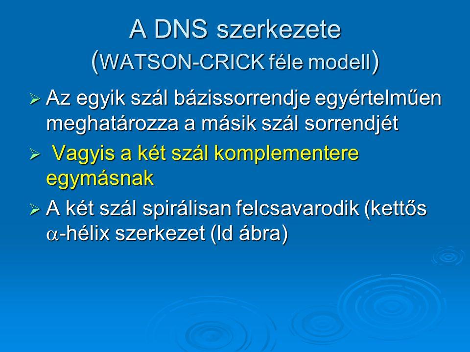 A DNS szerkezete ( WATSON-CRICK féle modell )  Az egyik szál bázissorrendje egyértelműen meghatározza a másik szál sorrendjét  Vagyis a két szál kom