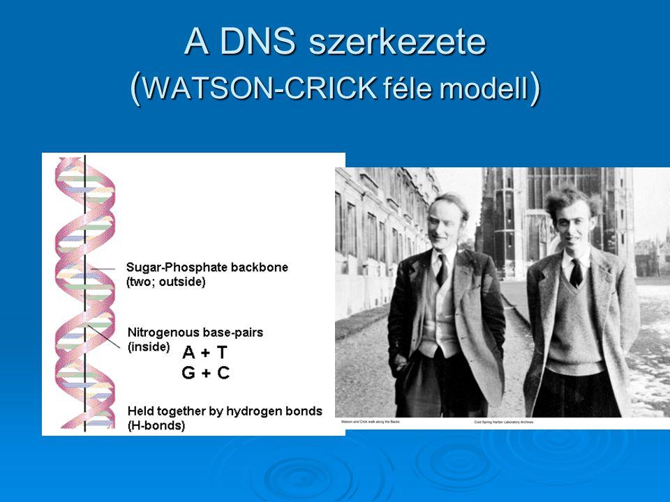 A DNS szerkezete ( WATSON-CRICK féle modell )