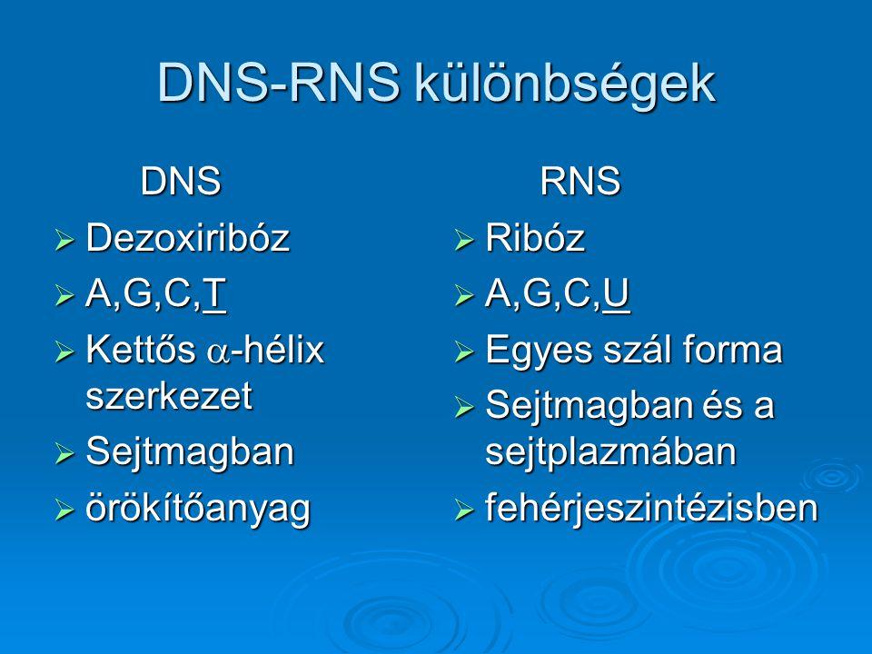DNS-RNS különbségek DNS  Dezoxiribóz  A,G,C,T  Kettős  -hélix szerkezet  Sejtmagban  örökítőanyag RNS  Ribóz  A,G,C,U  Egyes szál forma  Sej