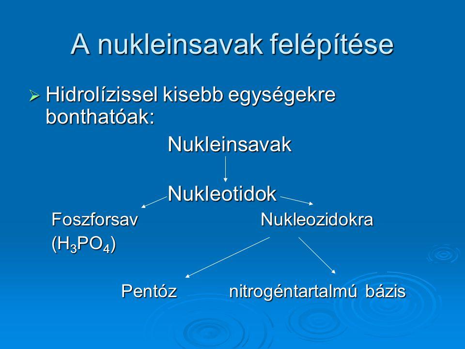 A nukleinsavak felépítése  Hidrolízissel kisebb egységekre bonthatóak: NukleinsavakNukleotidok FoszforsavNukleozidokra (H 3 PO 4 ) Pentóz nitrogéntar