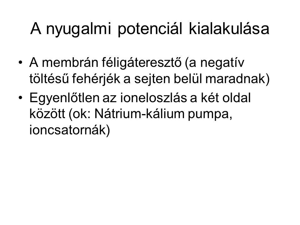 A nyugalmi potenciál kialakulása A membrán féligáteresztő (a negatív töltésű fehérjék a sejten belül maradnak) Egyenlőtlen az ioneloszlás a két oldal között (ok: Nátrium-kálium pumpa, ioncsatornák)