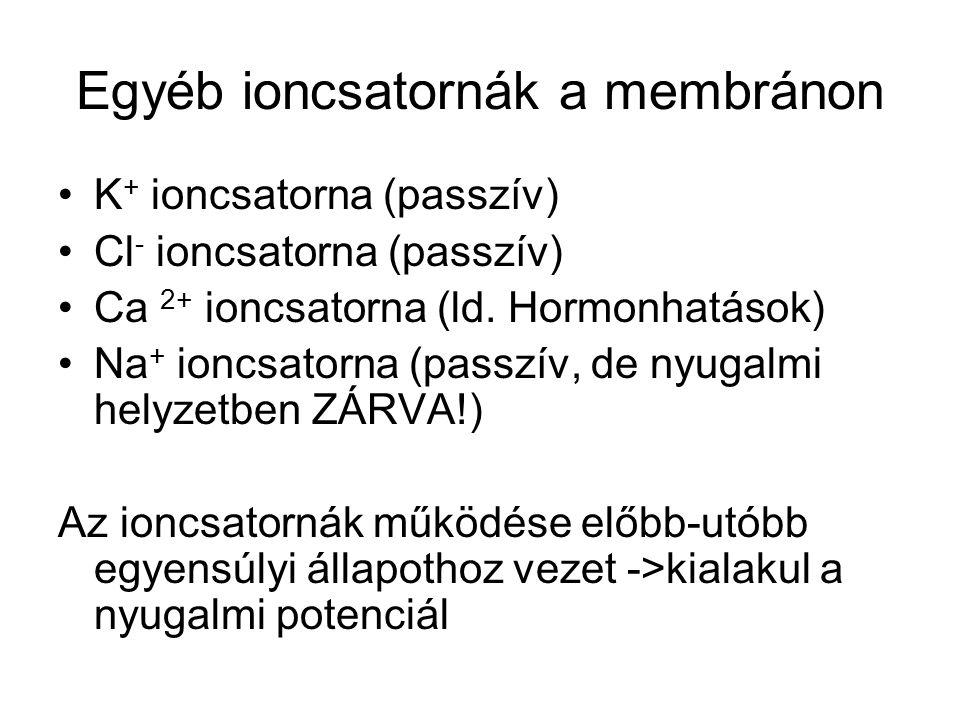 Egyéb ioncsatornák a membránon K + ioncsatorna (passzív) Cl - ioncsatorna (passzív) Ca 2+ ioncsatorna (ld.