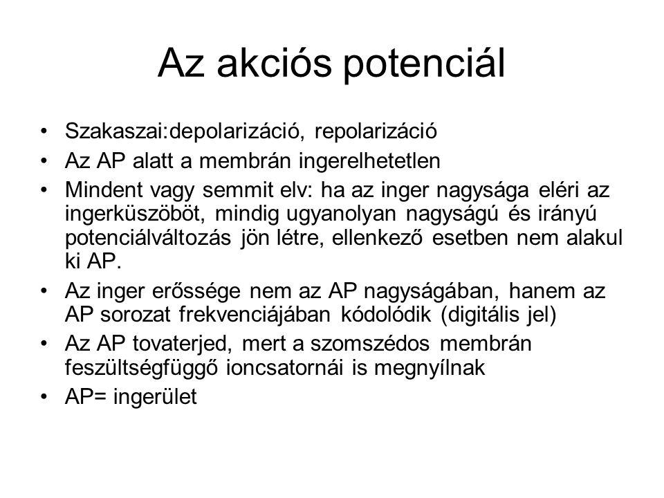 Az akciós potenciál Szakaszai:depolarizáció, repolarizáció Az AP alatt a membrán ingerelhetetlen Mindent vagy semmit elv: ha az inger nagysága eléri az ingerküszöböt, mindig ugyanolyan nagyságú és irányú potenciálváltozás jön létre, ellenkező esetben nem alakul ki AP.