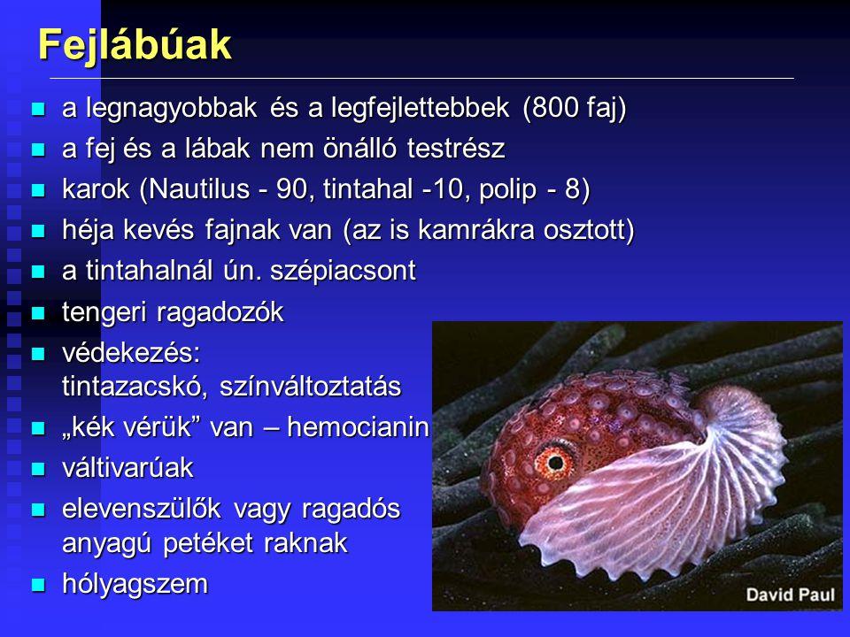 Fejlábúak n a legnagyobbak és a legfejlettebbek (800 faj) n a fej és a lábak nem önálló testrész n karok (Nautilus - 90, tintahal -10, polip - 8) n hé