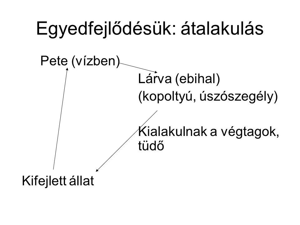 Egyedfejlődésük: átalakulás Pete (vízben) Lárva (ebihal) (kopoltyú, úszószegély) Kialakulnak a végtagok, tüdő Kifejlett állat