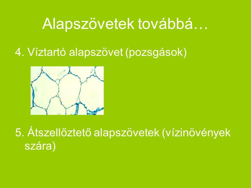 Alapszövetek továbbá… 4. Víztartó alapszövet (pozsgások) 5. Átszellőztető alapszövetek (vízinövények szára)