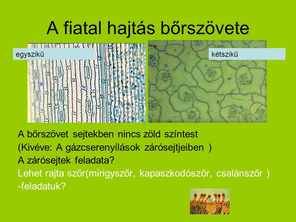 A fiatal hajtás bőrszövete A bőrszövet sejtekben nincs zöld színtest (Kivéve: A gázcserenyílások zárósejtjeiben ) A zárósejtek feladata? Lehet rajta s