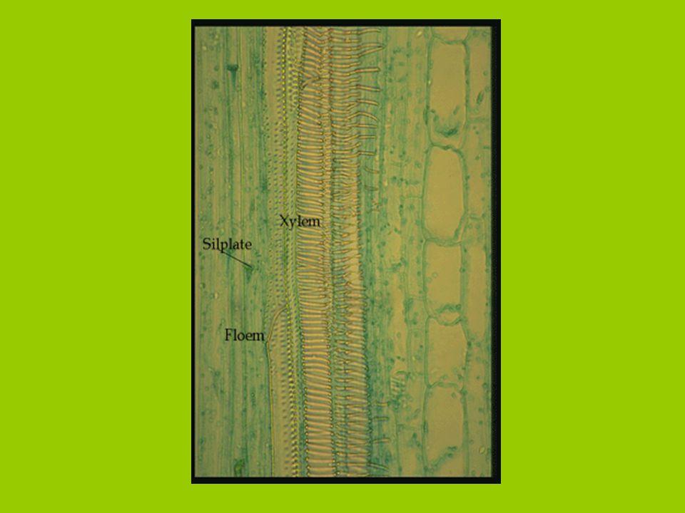 Alapszövetek 1. Táplálék készítő (fotoszintetizáló) alapszövetek: Szivacsos Oszlopos Hol található?