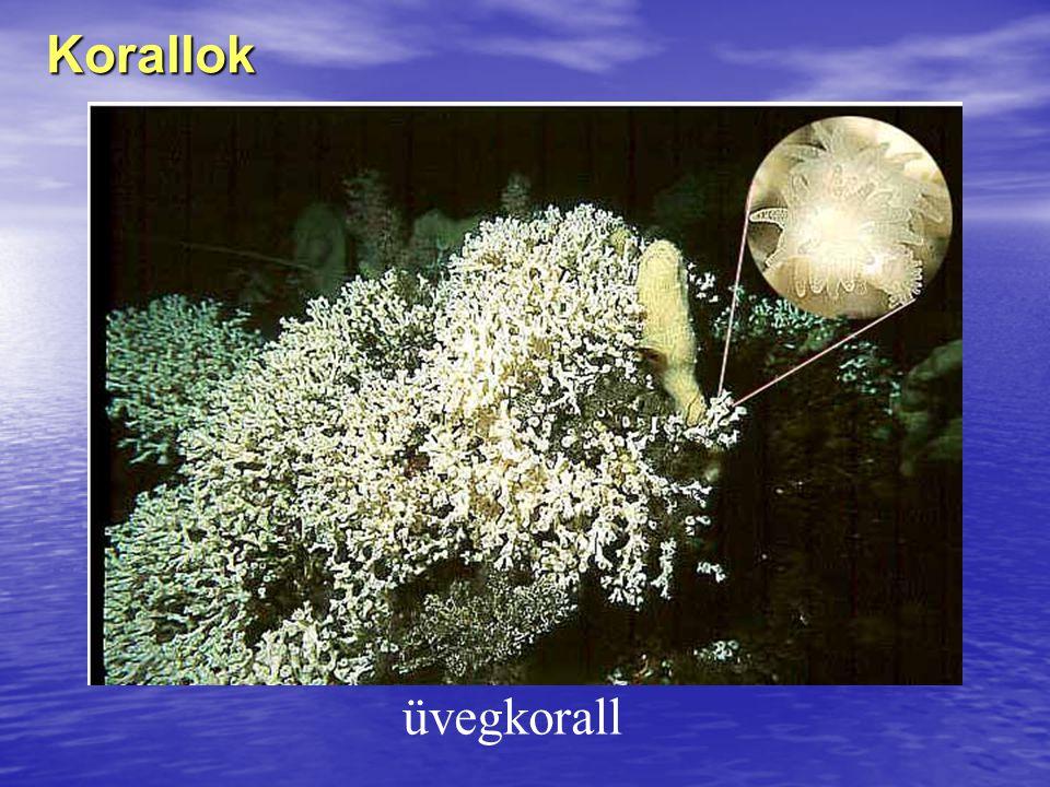 Korallok üvegkorall
