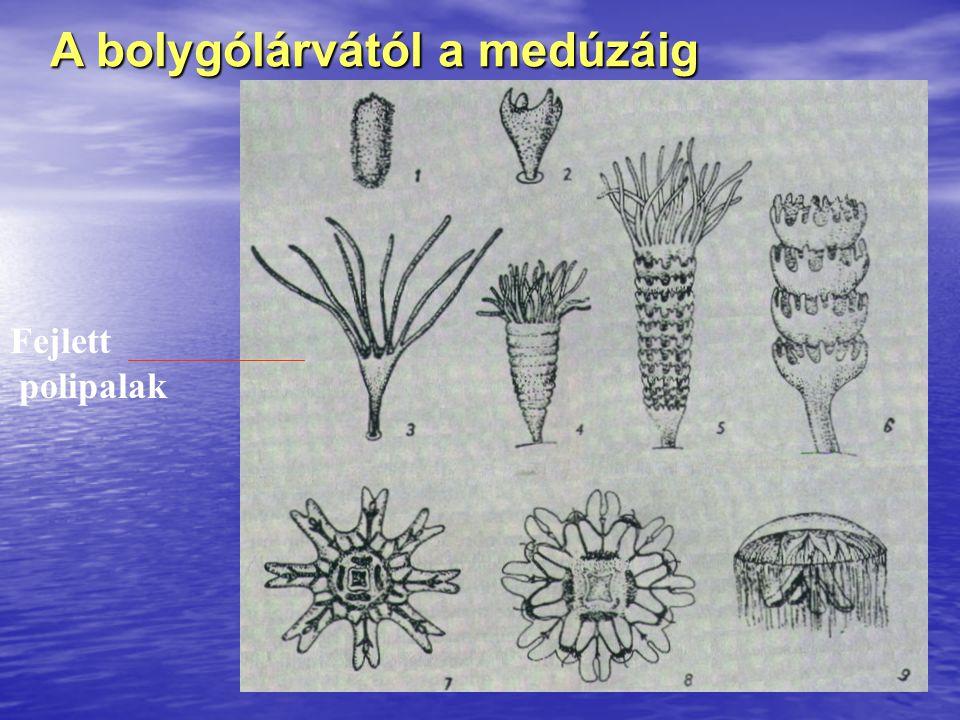 A bolygólárvától a medúzáig Fejlett polipalak