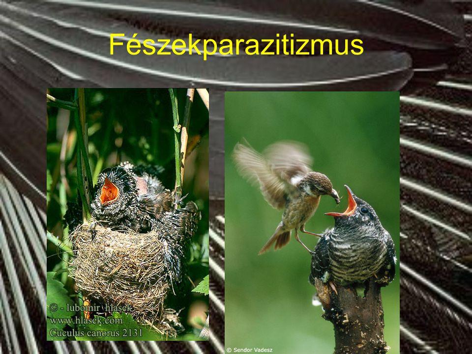 Táplálkozás Csőr és láb jellegzetes az életmódra és a táplálkozásra Táplálkozás rendkívül változatos és sokszor nem kizárólagos (magevő, dögevő, ragadozó, rovarevő, halevő, nektárevő, gyümölcsevő)