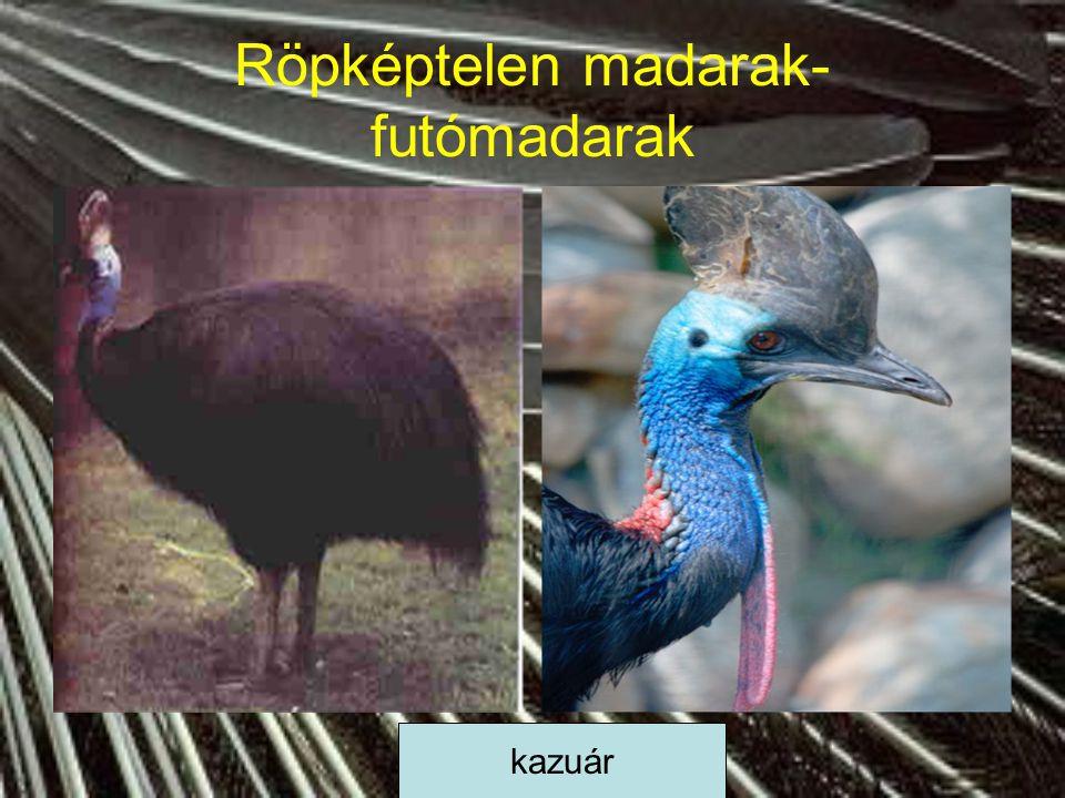 Röpképtelen madarak- futómadarak kazuár