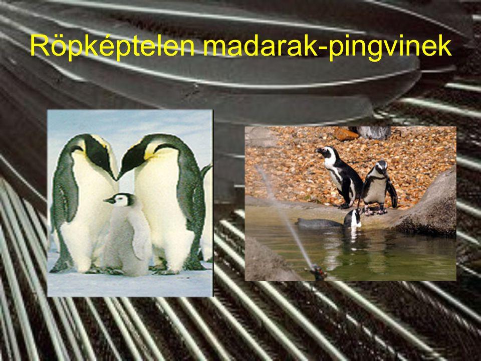 Röpképtelen madarak- Új-Zélandon kivi