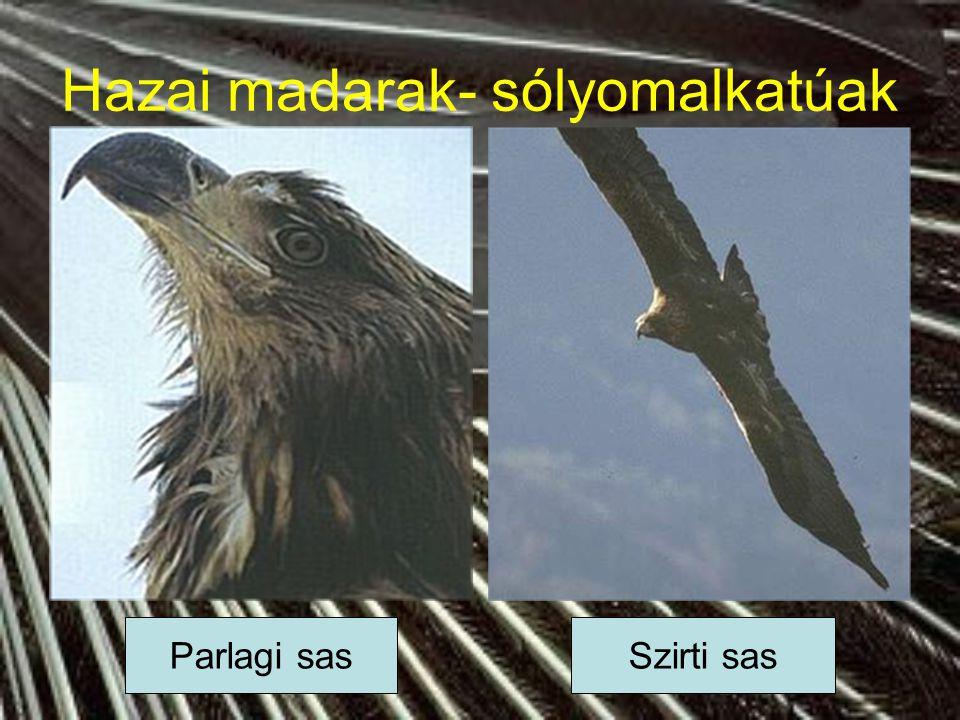 Hazai madarak- sólyomalkatúak Parlagi sasSzirti sas