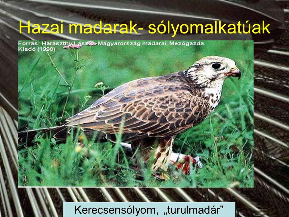 Hazai madarak- verébalkatúak énekesmadarak Szajkó, mátyásmadár