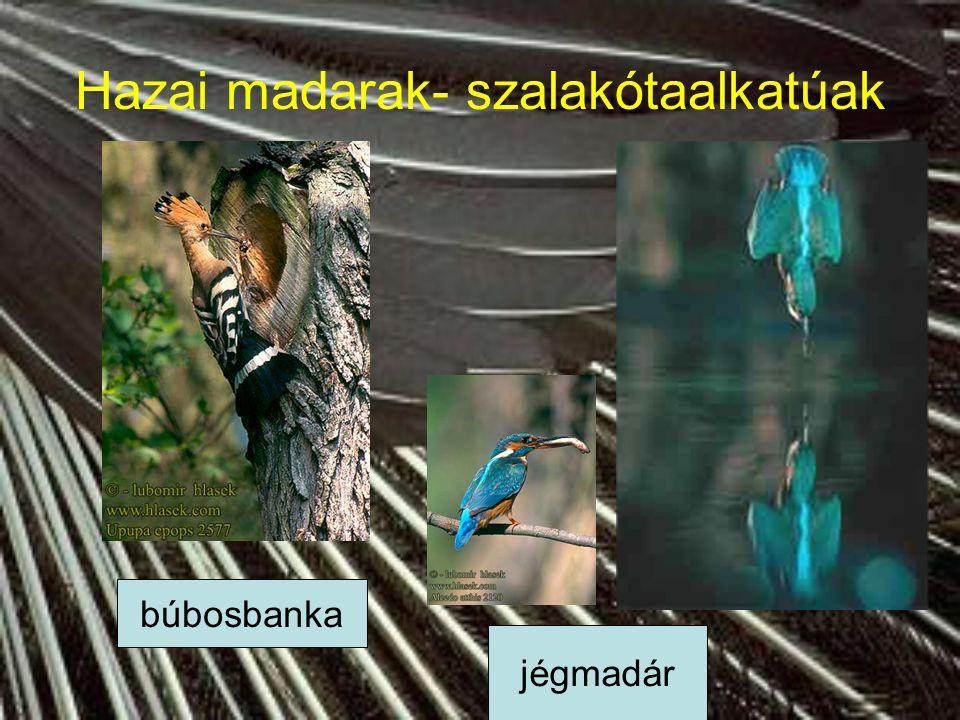 Hazai madarak- szalakótaalkatúak szalakóta gyurgyalag