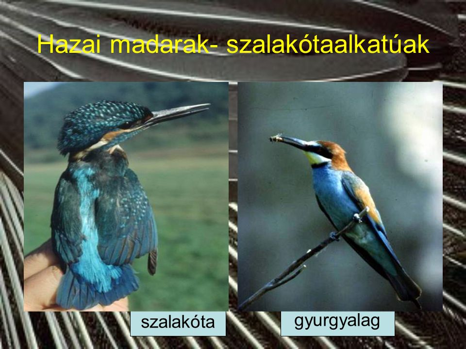 Hazai madarak- gólyaalkatúak Kárókatona, kormorán Fekete gólya