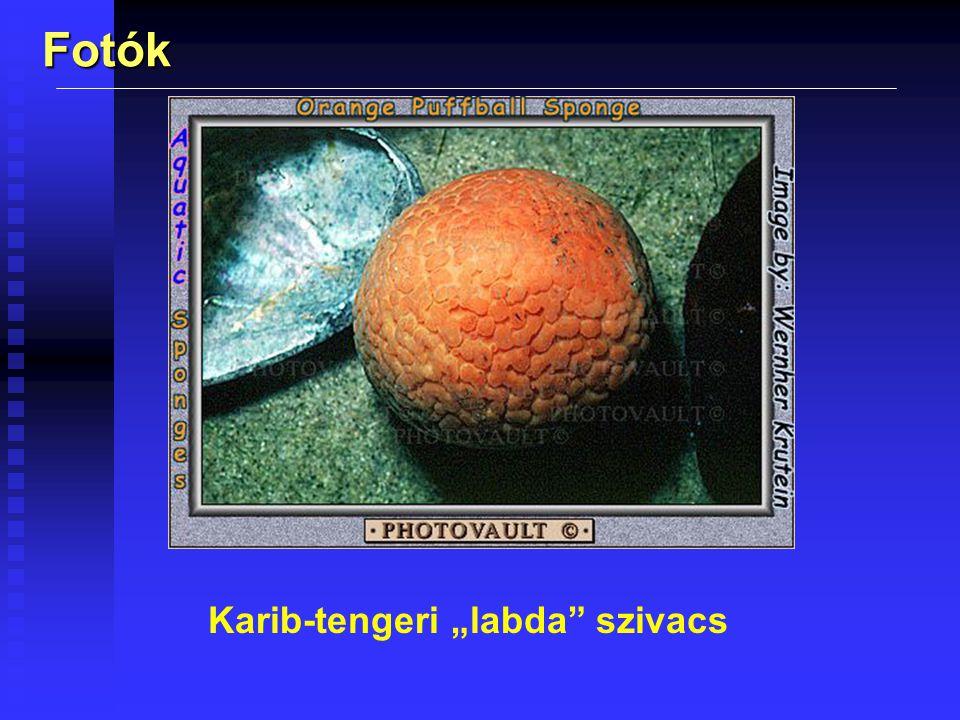 "Fotók Karib-tengeri ""labda"" szivacs"