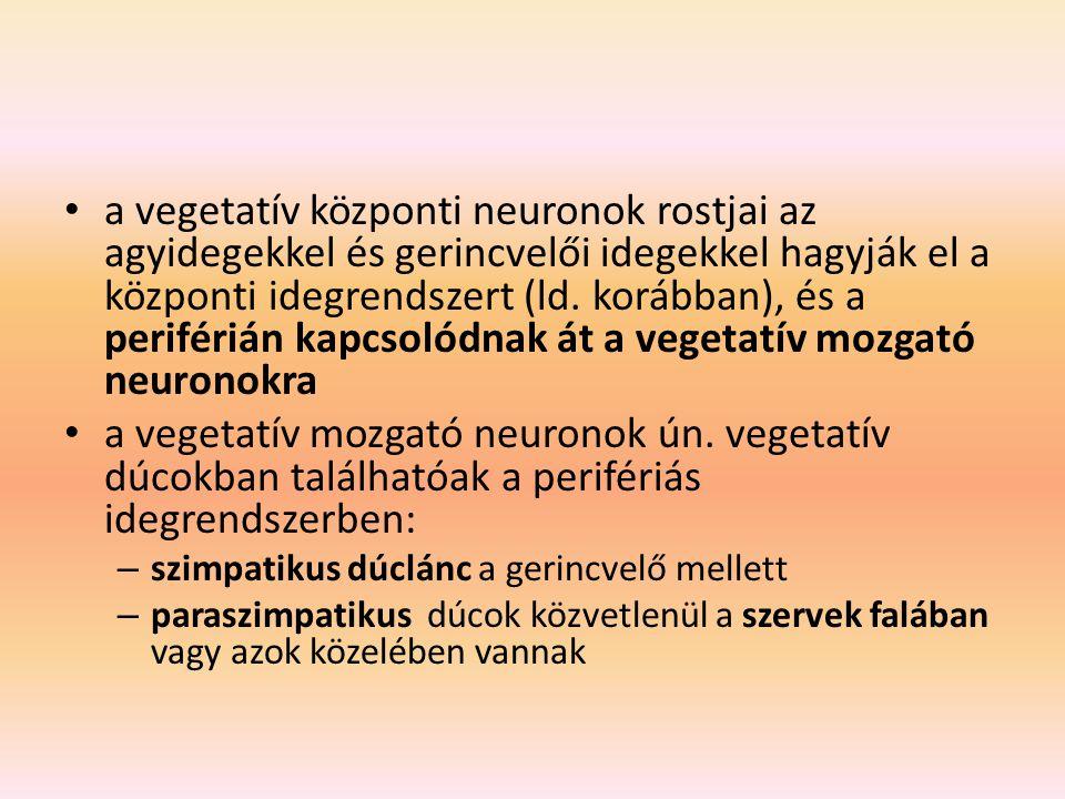a vegetatív központi neuronok rostjai az agyidegekkel és gerincvelői idegekkel hagyják el a központi idegrendszert (ld. korábban), és a periférián kap