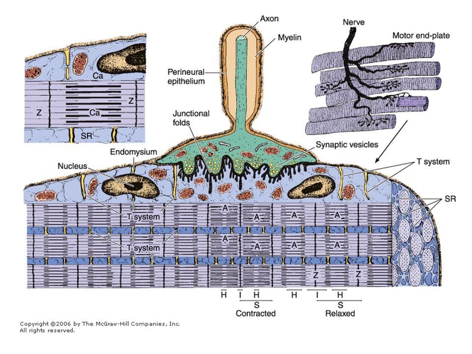 Szomatikus (testi) reflexek Összerendezése: felsőbb központokban Szomatikus mozgató kéreg: a nagyagykéreg homloklebenyének hátsó része –Annál nagyobb egy testtáj képviselete, minél több izom működteti a területet –Homunculus –Innen két pályarendszer indul: extrapiramidális, és a piramis rendszer
