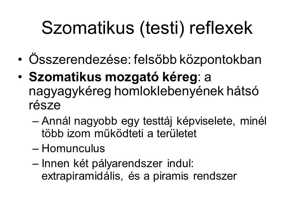 Szomatikus (testi) reflexek Összerendezése: felsőbb központokban Szomatikus mozgató kéreg: a nagyagykéreg homloklebenyének hátsó része –Annál nagyobb