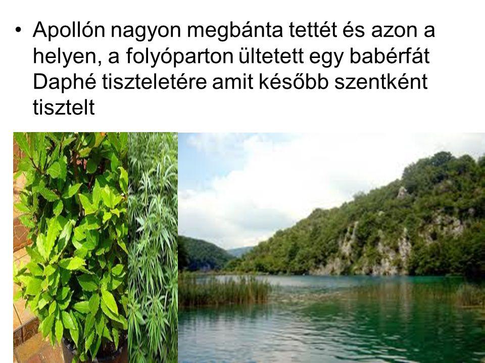 Apollón nagyon megbánta tettét és azon a helyen, a folyóparton ültetett egy babérfát Daphé tiszteletére amit később szentként tisztelt