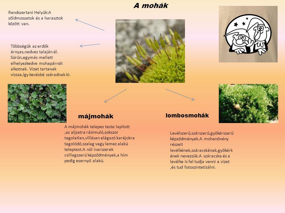 A mohák Rendszertani Helyük:A zöldmoszatok és a harasztok között van. Többségük az erdők árnyas,nedves talaján él. Sűrűn,egymás mellett elhelyezkedve