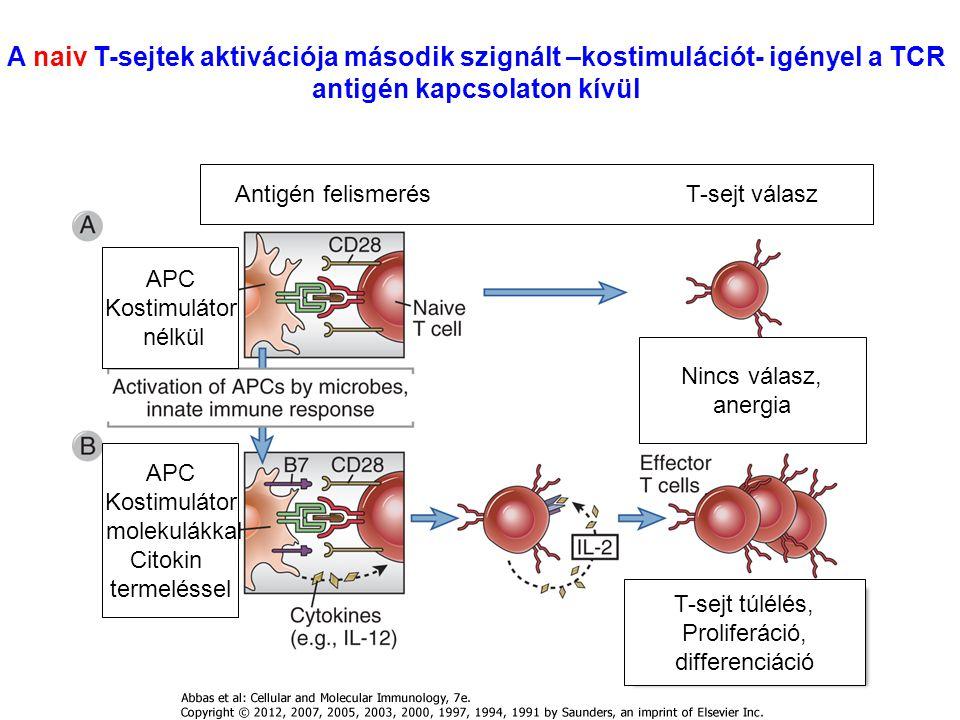 A naiv T-sejtek aktivációja második szignált –kostimulációt- igényel a TCR antigén kapcsolaton kívül APC Kostimulátor nélkül APC Kostimulátor molekulákkal Citokin termeléssel Antigén felismerés T-sejt válasz Nincs válasz, anergia T-sejt túlélés, Proliferáció, differenciáció