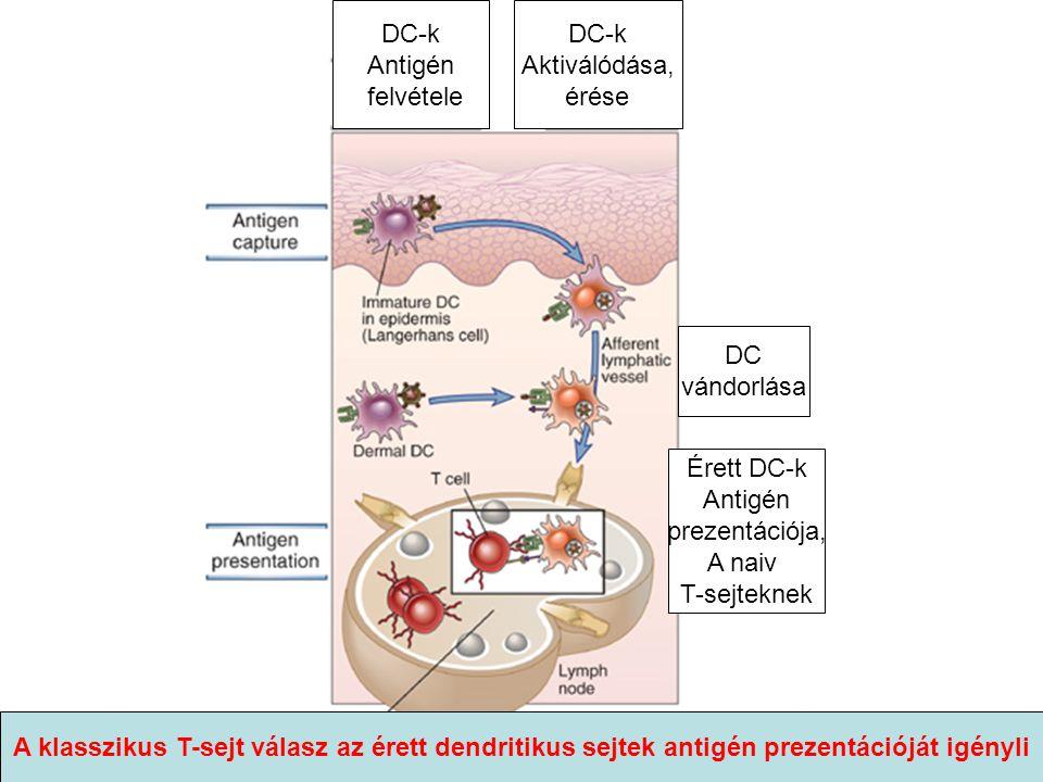 DC vándorlása DC-k Antigén felvétele DC-k Aktiválódása, érése Érett DC-k Antigén prezentációja, A naiv T-sejteknek A klasszikus T-sejt válasz az érett dendritikus sejtek antigén prezentációját igényli