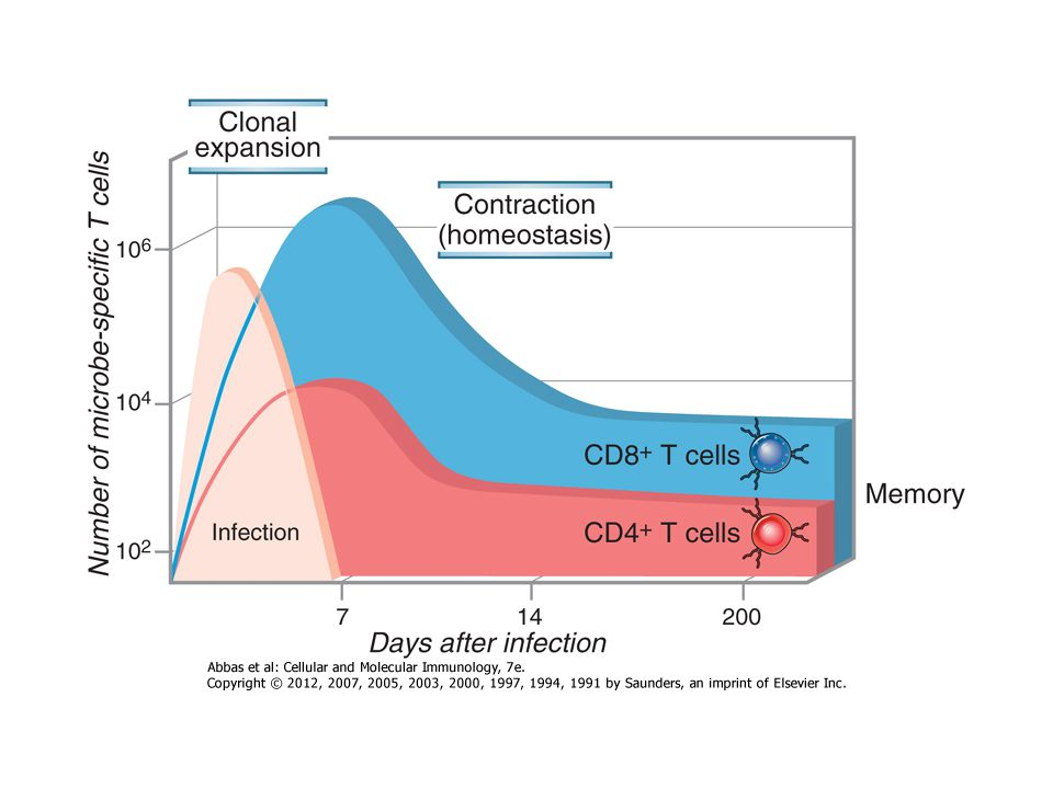Éretlen DC Érett DC Elsődleges funkció Antigén felvétel Antigén prezentáció Fc és mannóz receptor expresszió ++- T-sejt kostimulátorok -, alacsony ++ MHCII féléletidő szám 10óra 1M >100óra 7M ÉRETLEN/ÉRETT dendritikus sejtek A DC-eken aktiváció hatására nő az MHC mennyisége, kostimulátor molekulák jelennek meg, elengedi a környezetét Megjelenik egy kemokin receptor (CCR7) (A naiv T sejtek ugyanezt a kemokin receptort hordozzák, azaz az érett DC-k és a naiv T-sejtek egy helyre vándorolnak) A DC míg beér a nyirokcsomóba érett DC-té differenciálódik