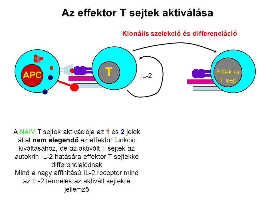 Az effektor T sejtek aktiválása APC T A NAIV T sejtek aktivációja az 1 és 2 jelek által nem elegendő az effektor funkció kiváltásához, de az aktivált T sejtek az autokrin IL-2 hatására effektor T sejtekké differenciálódnak Mind a nagy affinitású IL-2 receptor mind az IL-2 termelés az aktivált sejtekre jellemző IL-2 Effektor T sejt Klonális szelekció és differenciáció