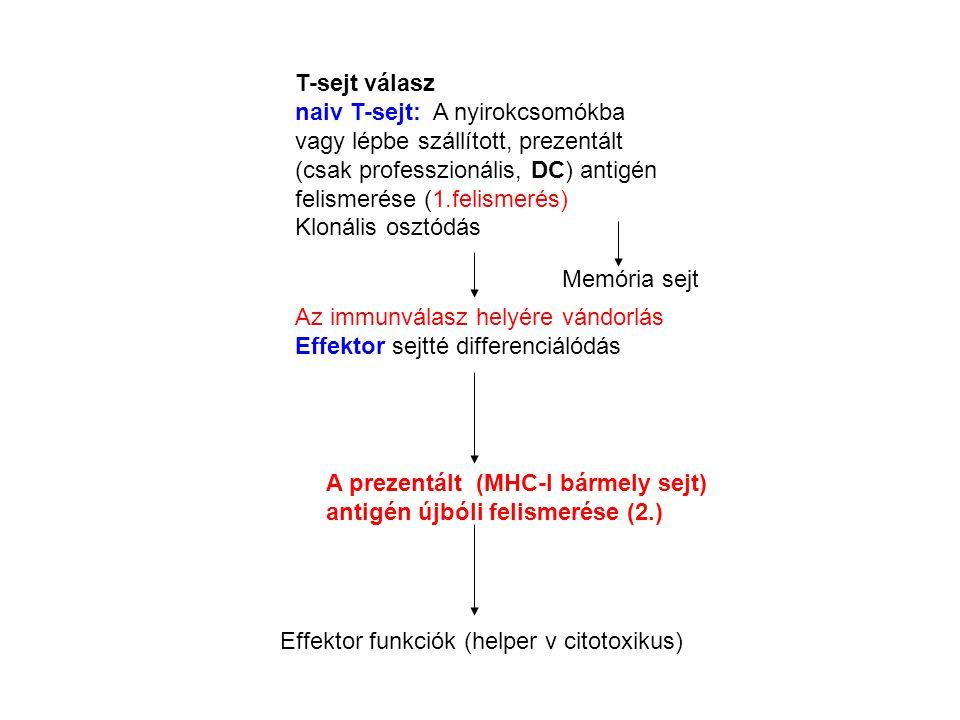 T-sejt válasz naiv T-sejt: A nyirokcsomókba vagy lépbe szállított, prezentált (csak professzionális, DC) antigén felismerése (1.felismerés) Klonális osztódás Az immunválasz helyére vándorlás Effektor sejtté differenciálódás A prezentált (MHC-I bármely sejt) antigén újbóli felismerése (2.) Effektor funkciók (helper v citotoxikus) Memória sejt