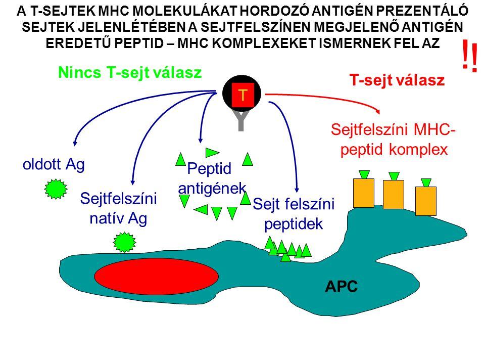 A KOSTIMULÁCIÓ ELENGEDHETETLEN A NAIV T- LIMFOCITÁK AKTIVÁLÁSÁHOZ Az antigén-specifikus és kostimulációs jeleknek egy időben és egymással együttműködésben kell hatniuk ahhoz, hogy a T-sejt aktiváció elinduljon Az antigén-specifikus és kostimulációs jelek szimultán elindítását csak a hivatásos antigén prezentáló sejtek képesek közvetíteni Az antigén-specifikus és kostimulációs jeleket ugyanannak az antigén prezentáló sejtnek kell biztosítani
