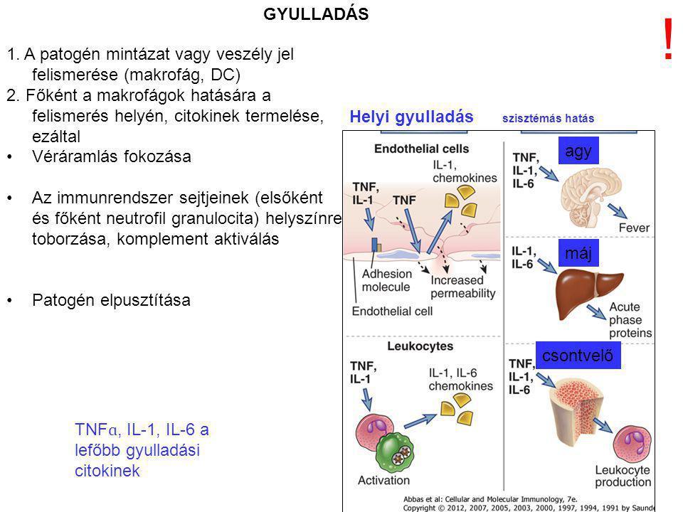GYULLADÁS ! 1. A patogén mintázat vagy veszély jel felismerése (makrofág, DC) 2. Főként a makrofágok hatására a felismerés helyén, citokinek termelése