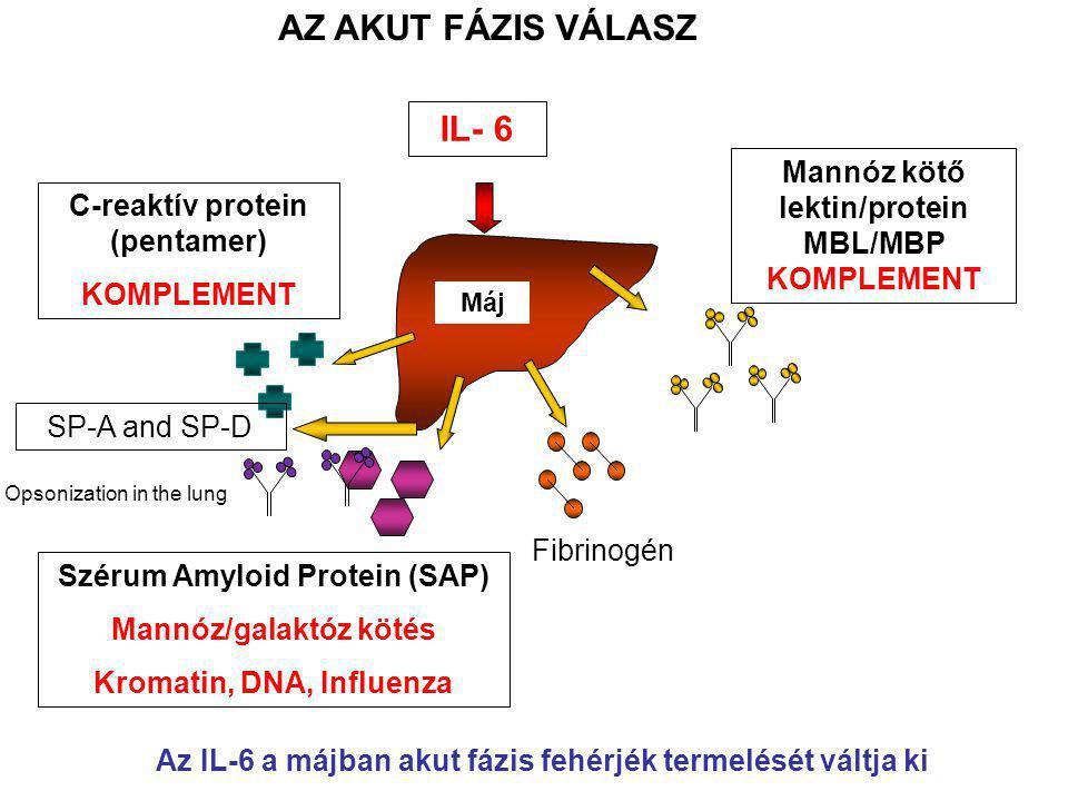 Máj C-reaktív protein (pentamer) KOMPLEMENT Szérum Amyloid Protein (SAP) Mannóz/galaktóz kötés Kromatin, DNA, Influenza Fibrinogén Mannóz kötő lektin/