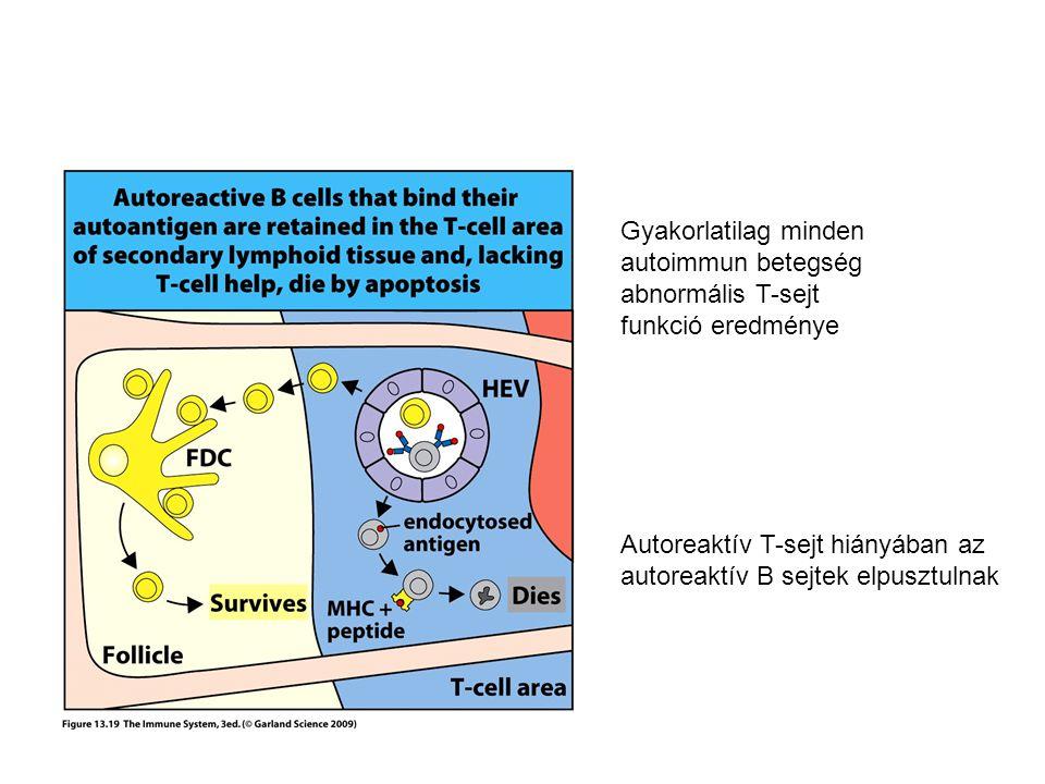 Gyakorlatilag minden autoimmun betegség abnormális T-sejt funkció eredménye Autoreaktív T-sejt hiányában az autoreaktív B sejtek elpusztulnak