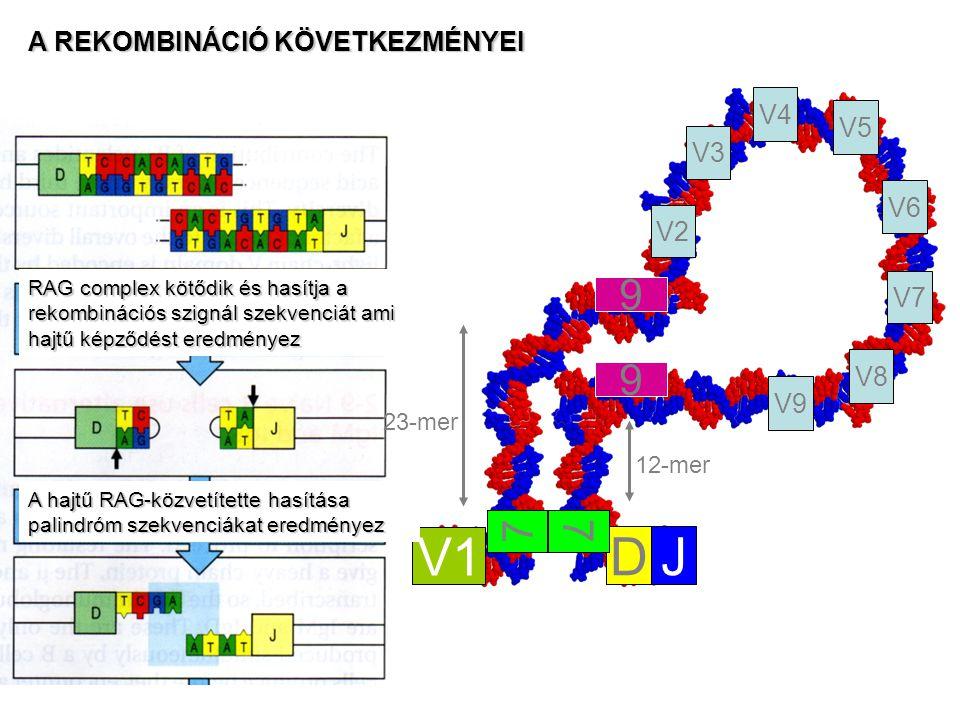 23-mer 12-mer V1 DJ V2 V3 V4 V8 V7 V6 V5 V9 7 9 9 7 RAG complex kötődik és hasítja a rekombinációs szignál szekvenciát ami hajtű képződést eredményez A hajtű RAG-közvetítette hasítása palindróm szekvenciákat eredményez A REKOMBINÁCIÓ KÖVETKEZMÉNYEI