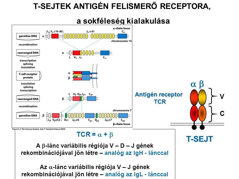 C T-SEJT C V Antigén receptor TCR T-SEJTEK ANTIGÉN FELISMERŐ RECEPTORA, a sokféleség kialakulása TCR =  +  A  -lánc variábilis régiója V – D – J gének rekombinációjával jön létre – analóg az IgH - lánccal Az  -lánc variábilis régiója V – J gének rekombinációjával jön létre – analóg az IgL - lánccal