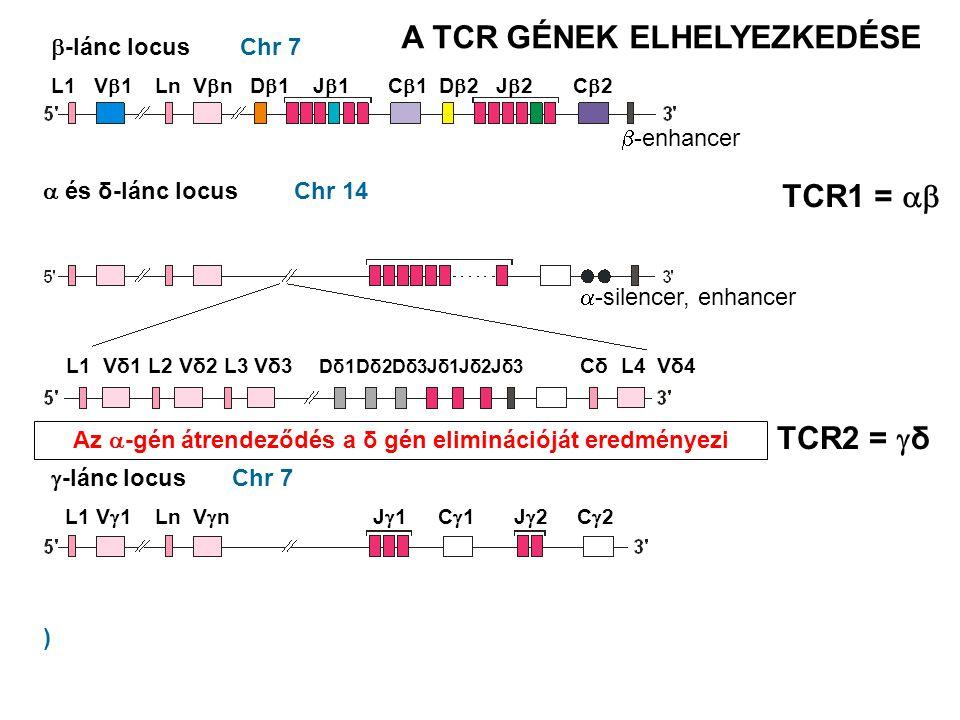 Chr 7 Chr 14  -lánc locus  és δ-lánc locus  -lánc locus Az  -gén átrendeződés a δ gén eliminációját eredményezi ) Chr 7 TCR1 =  TCR2 =  δ A TCR GÉNEK ELHELYEZKEDÉSE L1 V  1 Ln V  n D  1 J  1 C  1 D  2 J  2 C  2  -enhancer L1 V  1 Ln V  n J  1 C  1 J  2 C  2  -silencer, enhancer L1 Vδ1 L2 Vδ2 L3 Vδ3 Dδ1Dδ2Dδ3Jδ1Jδ2Jδ3 Cδ L4 Vδ4